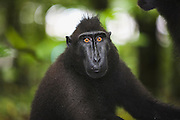 A close-up portrait of a male Celebes Crested Macaque ( Macaca nigra ) with amber-colored eyes, Sulawesi, Indonesia