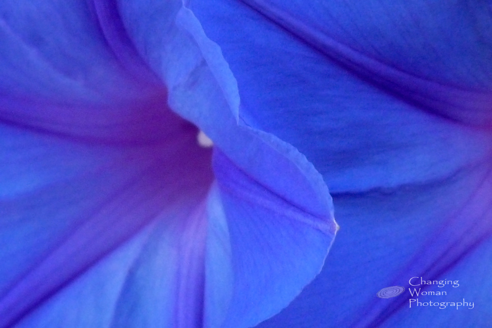 Delicate morning glories display intense blue trumpets adorned with lavendar stars.