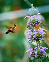Hummingbird Clearwing moth attracted to a Lemon Mint flower. Image taken with a Nikon D5 camera and 80-400 mm VRII lens (ISO 1600, 400 mm, f/8, 1/320 sec).
