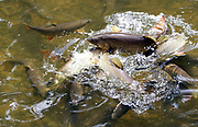 Brook trout compete for a food pellet at Story Hatchery in Wyoming, June 7, 2017.