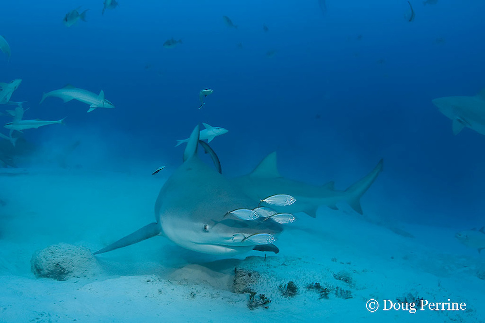 bull sharks, Carcharhinus leucas, female in seasonal breeding aggregation with remoras or sharksuckers, Echeneis naucrates, and juvenile bar jacks, Caranx ruber, Playa del Carmen, Cancun, Quintana Roo, Yucatan Peninsula, Mexico ( Caribbean Sea )