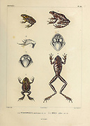 Odontophrynus americanus (common names: common lesser escuercito, American ground frog) [Here as Pyxicephalus americanus] (Left) and white-black tree frog (Boana albonigra) [here as Hyla Zebra] (Right) hand coloured sketch From the book 'Voyage dans l'Amérique Méridionale' [Journey to South America: (Brazil, the eastern republic of Uruguay, the Argentine Republic, Patagonia, the republic of Chile, the republic of Bolivia, the republic of Peru), executed during the years 1826 - 1833] Volume 5 Part 1 By: Orbigny, Alcide Dessalines d', d'Orbigny, 1802-1857; Montagne, Jean François Camille, 1784-1866; Martius, Karl Friedrich Philipp von, 1794-1868 Published Paris :Chez Pitois-Levrault. Publishes in Paris in 1847