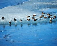 Common Eider ducks resting. Jökulsárlón Glacier and Lagoon. Image taken with a Nikon Df camera and 70-200 mm f/4 lens (ISO 640, 200 mm, f/5.6, 1/1250 sec)