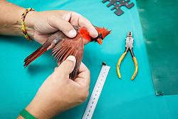Bird banding of male cardinal, Mitchell Lake Audubon Center, San Antonio, Texas, USA.