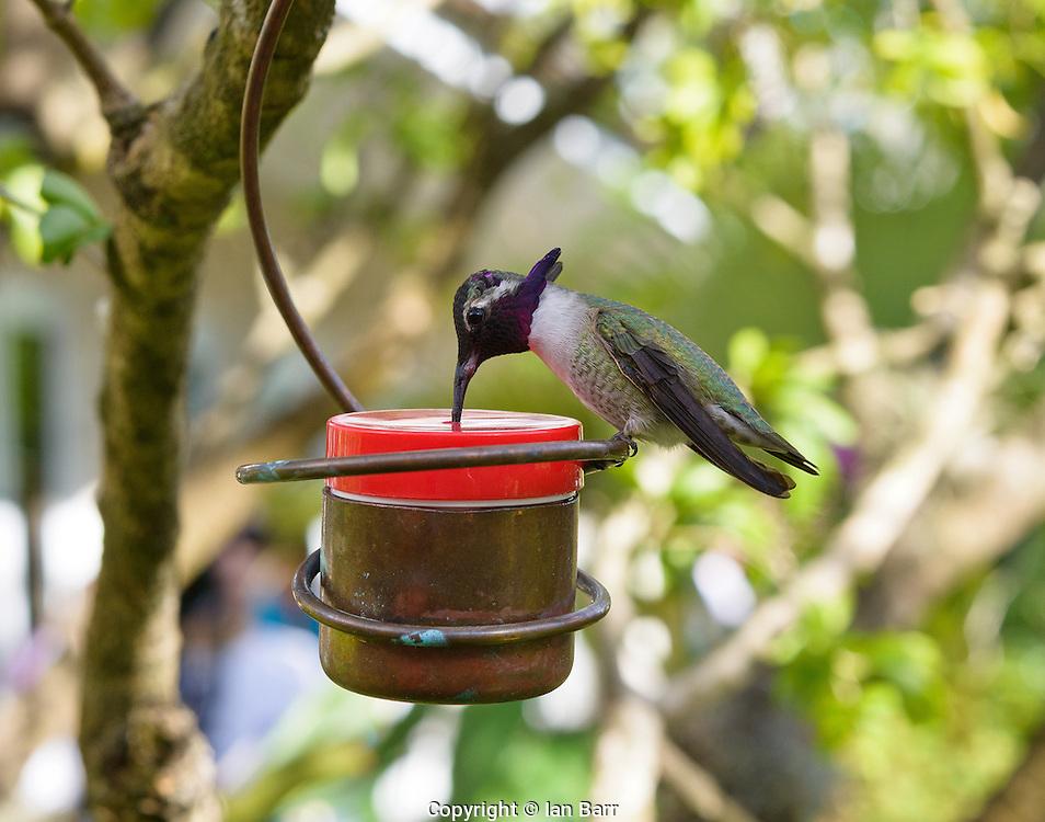Hummingbird sipping sugar water.