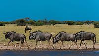 Blue wildebeest (gnu) running, Nxai Pan National Park, Botswana.