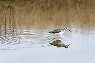 Greater Yellowlegs (Tringa melanoleuca) foraging as the tide comes in along Blackie Spit in Crescent Beach, Surrey, British Columbia, Canada.