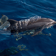 Spinner dolphin (Stenella longirostris) surfacing and blowing, Puerto Princesa, Palawan, the Philippines.