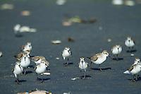 Shore birds on Kalaloch Beach  in Olympic National Park, WA
