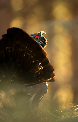 Capercaillie Tetrao urogallus, adult rogue male in woodland, Cairngorms National Park, Scotland, February