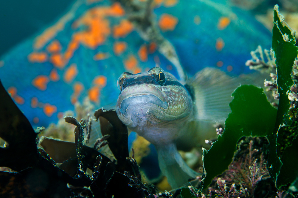Chameleon goby, Tridentiger trigonocephalus, in front of a blue bat star, Patiria pectinifera, This fish native to marine and brackish waters along the coasts of eastern Asia including Japan, Korea, China and Siberia. It has also spread to other parts of the world AND have been found in the Mediterranean Sea, the Black Sea, California and Australia. Here photographed just off Zhifu Island (Chinese: 芝罘島), Shandong Province, China, byt the Bohai Sea, that is the inner part of the Yellow Sea where both the Yellow River and Hai He flow into.<br /><br />Conservation: The Yellow Sea is one of the most threatened marine areas on earth. Land reclamation has destructed more than 60% of tidal wetlands in only 50 years. Rapid coastal development for agriculture, aquaculture and industrial.development are primary drivers of coastal destruction in the region. In addition pollution, harmful algal blooms, invasion of introduced species are having a negative effect. There are 25 intentionally introduced species and 9 unintentionally introduced species in the Yellow Sea marine ecosystem.