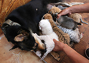 WEIHAI, CHINA - <br /> <br /> Rare Tiger Cubs Nursed By dog <br />  <br /> A dog feeds four tiger cubs born by a 5-year-old Bengal tiger  on June 14, 2017 at Rongcheng County in Weihai, Shandong Province of China. Four tiger cubs, two golden tigers, a snow tiger, a white tiger, are born at the Xixiakou Wildlife Zoo. Working Staff of the Xixiakou Wildlife Zoo found a dog to feed the four baby tigers.<br /> ©Exclusivepix Media