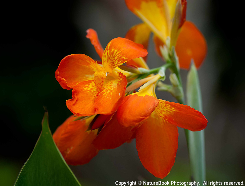 The Orange Jewelweed grows in moist areas and along river banks throughout the United States.  This image was made at Shenandoah<br /> National Park with a 105mm macro lens