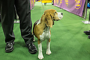 New York, NY - 16 February 2015. Beagle Tashtins Lookin For Trouble coming out of the ring after the hound group judging of the 139th Westminster Kennel Club dog show.