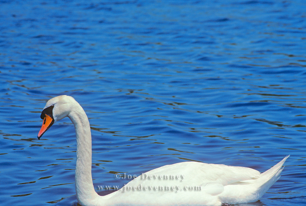 Mute Swan swimming on a pond on Cape Cod. Cygnus olor