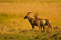 Topi, Masai Mara National Reserve, Kenya