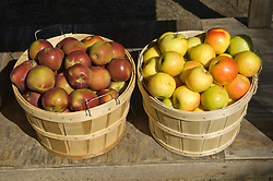 Pomaceous fruit of the apple tree, species Malus domestica in the rose family Rosaceae.