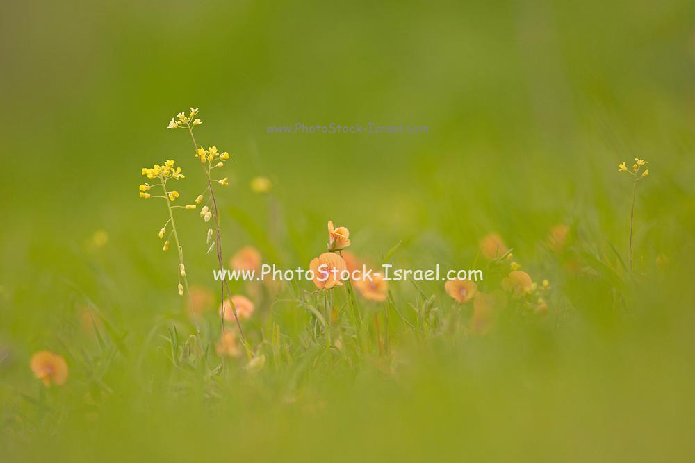 orange Lathyrus blepharicarpos flowers in a green field. Photographed in Israel in February