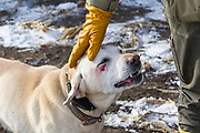 Moose the Yellow Lab shows a few battle scars after a hunt in frozen cattails near Mitchell, South Dakota.