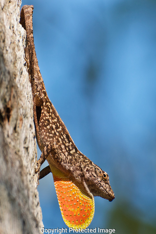 I really like the colors of this image, the blue sky in stark contrast to the bright orange displayed by the gecko. I must have worn out my welcome.