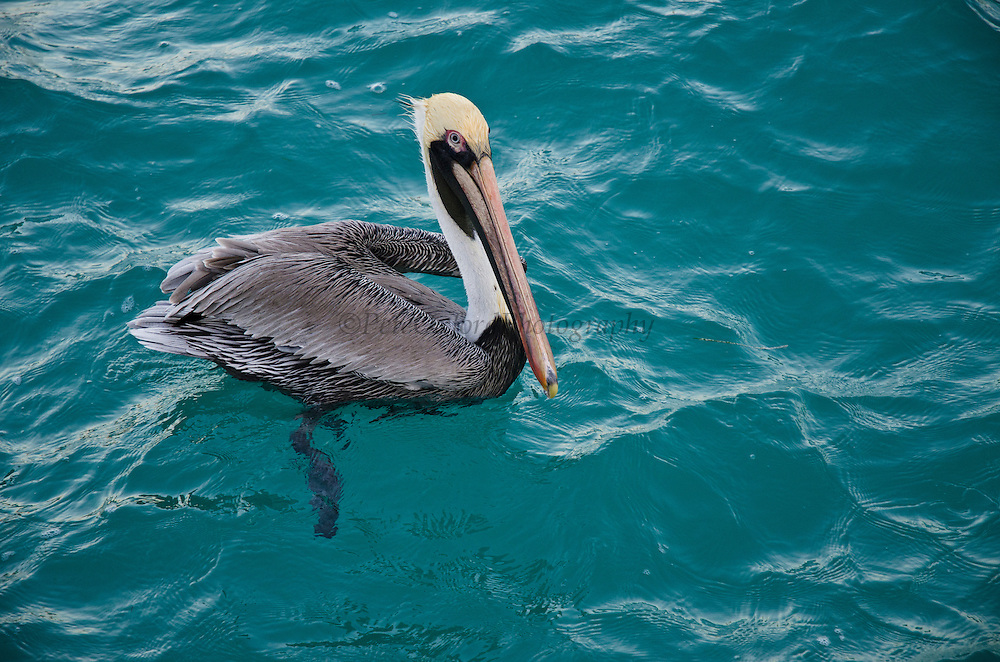 Brown Pelican (Pelecanus occidentalis)<br /> Isla Mujeres<br /> MEXICO