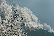 Frost on Trees, Winter Landscape, Eastern Rhodope Mountains, Bulgaria