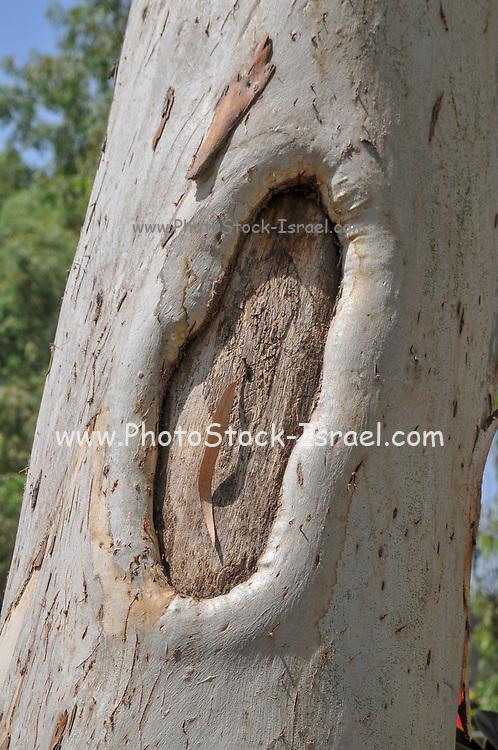 Eucalyptus Tree Trunk Knot