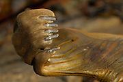 Southern Elephant Seal (Mirounga leonina) [size of single organism: 3 m] | See-Elefant (Mirounga leonina)