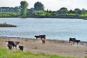Nederland, Millingen, 13-7-2020 Wilde runderen, galloways, grazen langs de Rijn in de Millingerwaard .. Natuurbegrazing door het uitzetten van Galloway runderen. De grazers lopen op de oever en houden de begroeing laag en divers. Ze drinken water uit de rivier . Ze zijn uitgezet en beheerd door de stichting Ark en staatsbosbeheer. Het is een kudde met jongen, kalveren,kalfjes, kalf,kalfje . Foto: ANP/ Hollandse Hoogte/ Flip Franssen