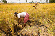 Farmers on small islands in the Sunderbans delta, West Bengal, harvest rice, India