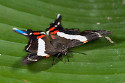 Costa Spotted Metalmark Butterfly, Ancyluris j. jurgensenii, Female, Panama, Central America, Gamboa Reserve, Parque Nacional Soberania, resting on leaf with wings open
