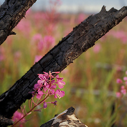 Tok, AK.Fireweed, Eplilbium angustifolium, and charred wood..