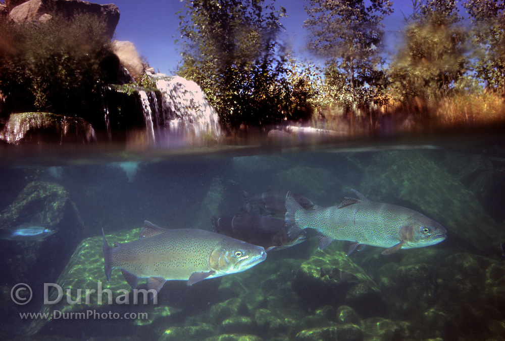 A rainbow trout (Oncorhynchus mykiss) photographed in Utah.