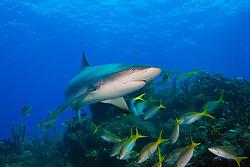 Caribbean Reef Shark, Carcharhinus perezii, and Yellowtail Snappers, Ocyurus chrysurus, over coral reef, West End, Grand Bahamas, Atlantic Ocean