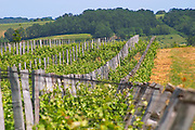 The vineyard with vines and wooden stakes with wires to support the vines Chateau de Pressac St Etienne de Lisse Saint Emilion Bordeaux Gironde Aquitaine France