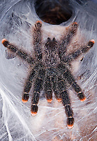 Pink-Toed Tarantula (Avicularia avicularia)