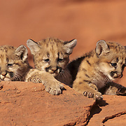 Mountain Lion or Cougar (Felis concolor) cubs in the canyonlands of southern Utah's red rock country. Captive Animal