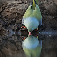 Treron calvus, Botswana