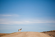 A male pronghorn (Antilocapra americana) stands alone on a dirt road somewhere in southwestern Wyoming.