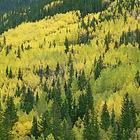 COLORADO. Fall-colored aspens above Ouray in San Juan Mountains near Telluride (Rocky Mountains).