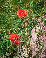 Red Poppy. Image taken with a Leica SL2 camera and 35 mm f/1.4 lens.