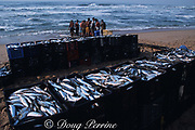 sardines, Sardinops sagax, are netted with beach seines, then crated for transport near Durban,  during annual Sardine Run  on east coast of South Africa