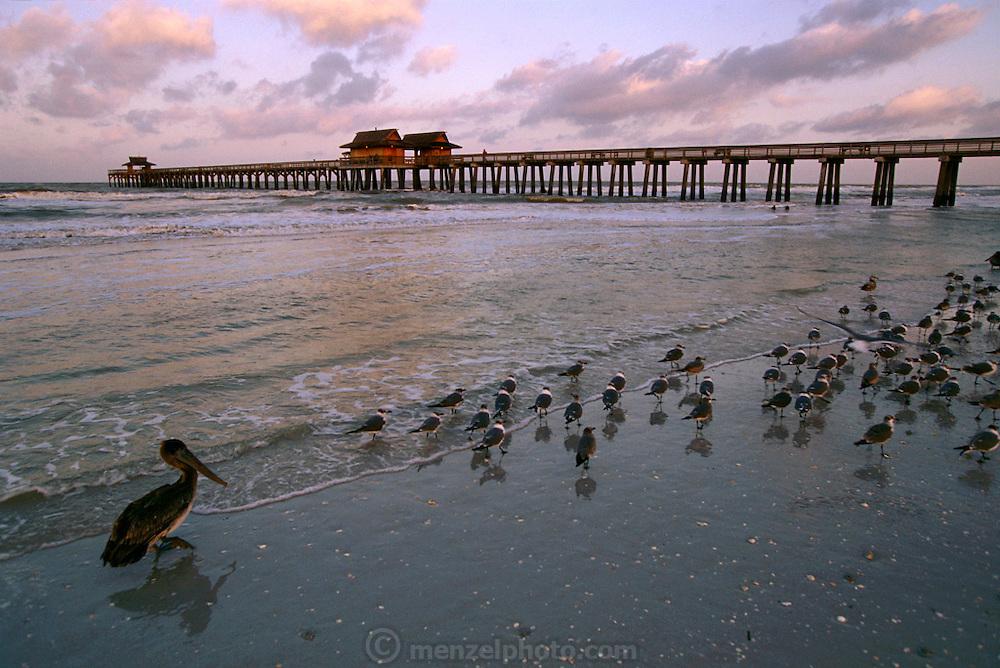 Shorebirds at the beach in Naples, Florida, USA.