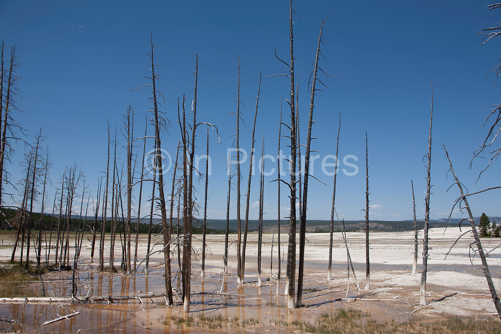Dead trees in the waters of the Lower Geyser Basin, west Yellowstone National Park. The Lower Geyser Basin possess a large variety of thermal features, including mud pots, geysers, pools, springs, and fumaroles. Great Fountain Geyser is one of the grand geysers in the Lower Geyser Basin. It erupts from a large, terraced platform with massive bursts exploding up to 150 feet high. White Dome Geyser does not have spectacular eruptive displays, but it does have one of the largest pink and white streaked cones in the Park.