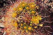 Detail of Barrel Cactus in bloom near Yaqui Pass, Anza-Borrego Desert State Park, California