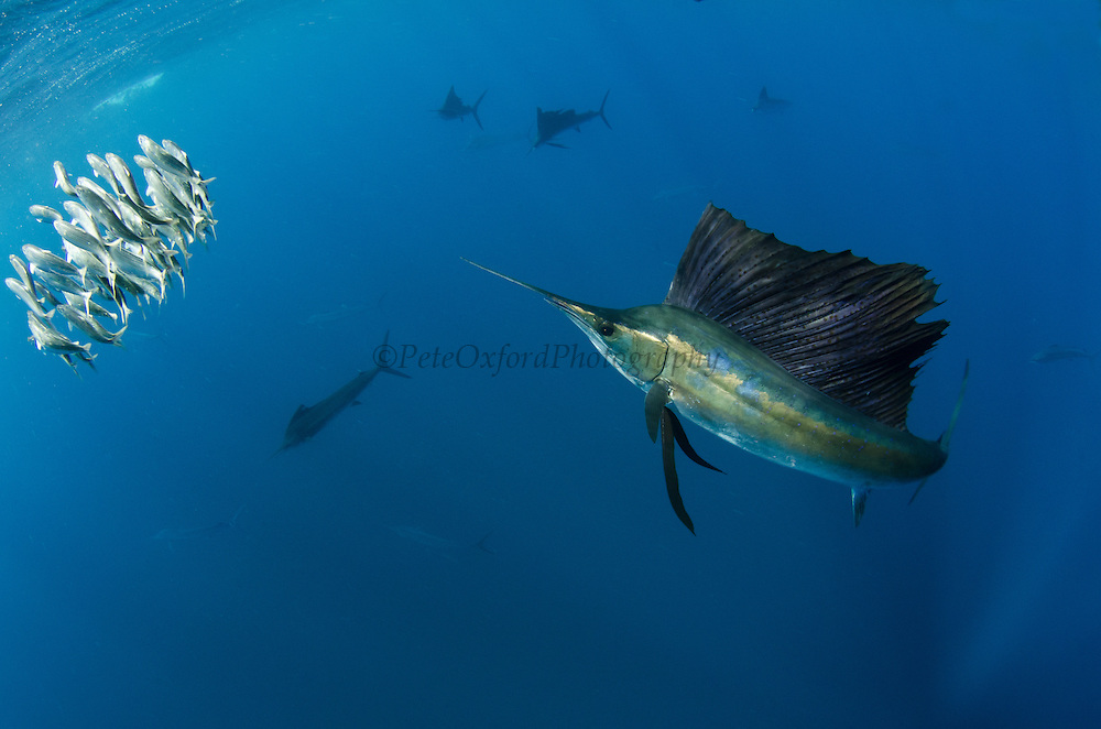 Atlantic Sailfish (Istiophorus albicans) hunting Sardines<br />