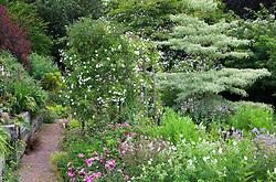 Alice's garden at Glebe Cottage, Rosa mundi, geraniums, Cornus controversa 'Variegata', Lobelia tupa and Rosa 'Sander's White' on pergola