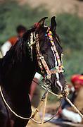 Horse at the Mallinath Fair at Tilwara, near Balotra, Rajasthan, India.
