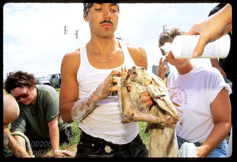 Jarid Manos of PECA holds wet prairie dog as asst sprays saline in its soapy eyes; Hutchinson. Kansas