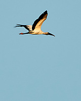 Wood Stork (Mycteria americana). Fort De Soto Park. Pinellas County, Florida. Image taken with a Nikon D300 camera and 600 mm f/4 VR lens.